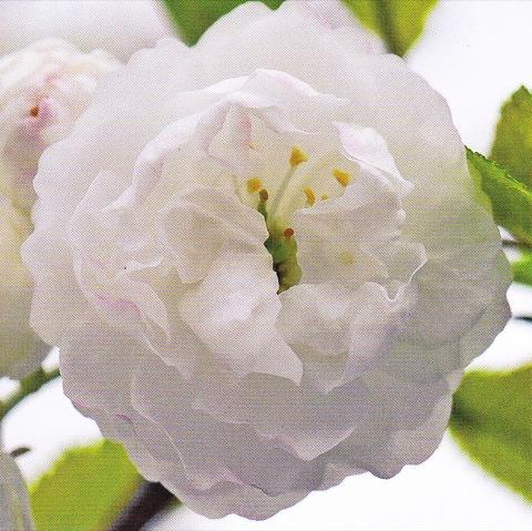 Rose blanche 7.5cm x 7.5cm